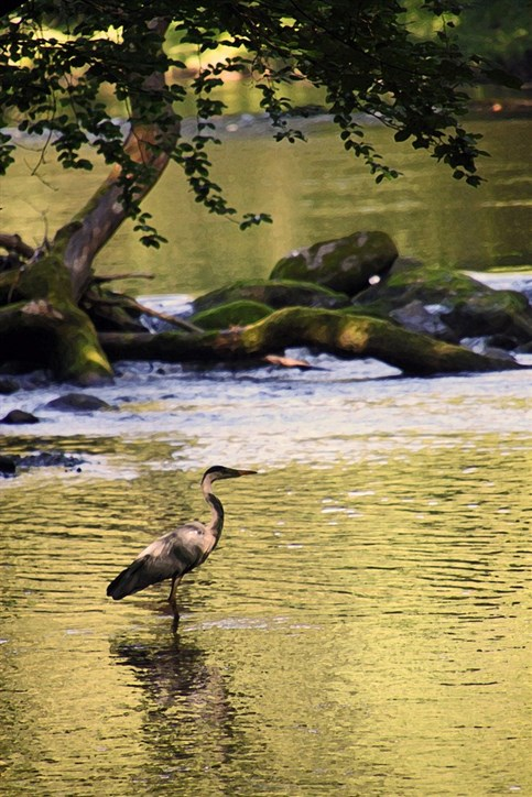 Heron on the river Seiont in the park grounds